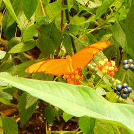 Julia Heliconian Butterfly by Kristine Nicholas - Novices Only Wildlife ( butterfly, orange, green, insect, insects, leaves, macro, butterflies, bugs, nature, nature up close, bug, flowers, flower, berries )