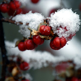 Spring Snow by Todd Coleman - Novices Only Flowers & Plants ( plant, red, cold, snow, seeds, spring,  )