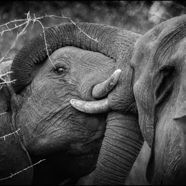 by Denis Smit - Black & White Animals