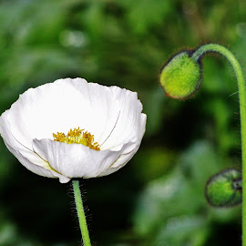 Poppy by Sarah Harding - Novices Only Flowers & Plants ( plant, nature, outdoors, novices only, flower )
