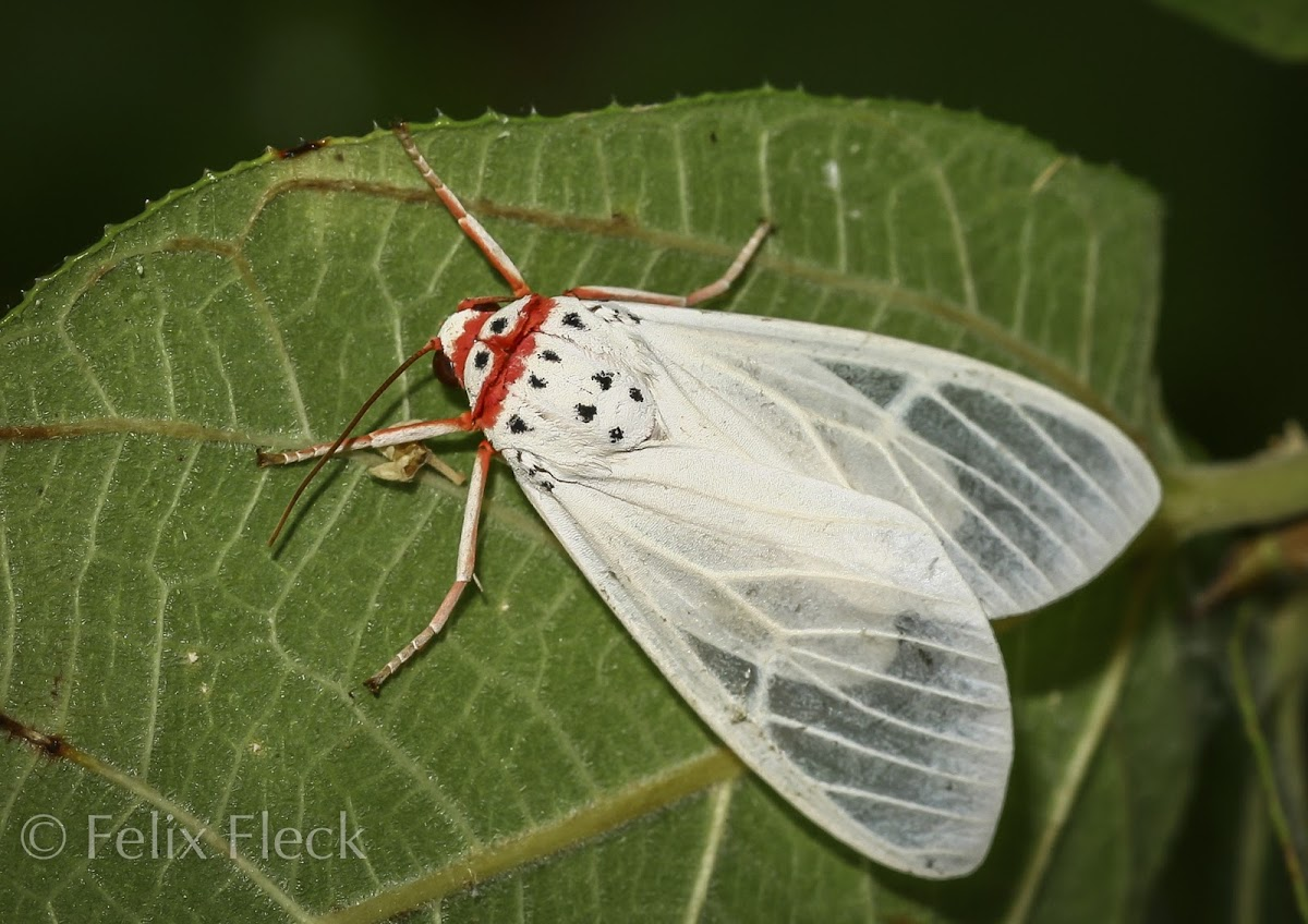 Walker's Frother (Amerila rubripes) spotted by user Felix Fleck on Project Noah.