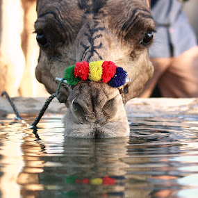 Camel quenching his thirst at Pushkar by Sridhar Balasubramanian - Animals Other Mammals ( water, camel, pushkar, thirst, decorative camel )