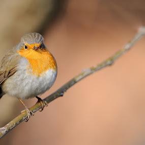 robin by Fabio Ponzi - Animals Birds ( bird, robin, orange, red, tree )