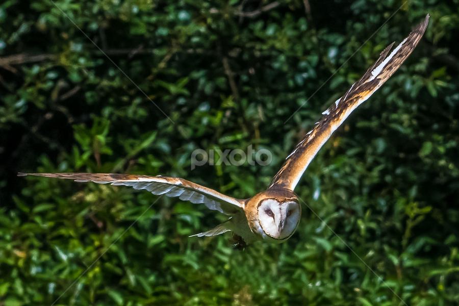 by Keith Sutherland - Uncategorized All Uncategorized ( flying, barn owl )