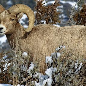 Rocky Mountain Bighorn Sheep  by Diana Treglown - Animals Other Mammals ( yellowstone, winter, ram, montana, wyoming, sheep, bighorn )