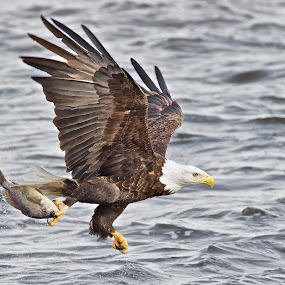 Ballet Catch by Mark Theriot - Animals Birds ( water, eagle, fish, catch, action, river, bif )