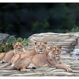 Chilling by Derek Stein - Animals Lions, Tigers & Big Cats ( lions 5 sisters zoo )