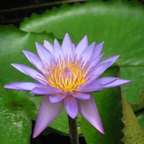 Violet Flower by Shishir Desai - Nature Up Close Gardens & Produce ( pwcflowergarden-dq, purple, yellow, color )