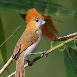 Pale-billed Parrotbill by Albin Jacob - Animals Birds