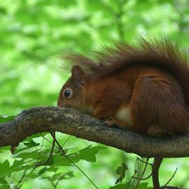 Squirrel by Helena Moravusova - Animals Other ( squirrel, animal )