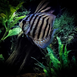 My little discus Blue by Sean Valdez - Instagram & Mobile iPhone ( amazon, discus, blue, planted, fish )