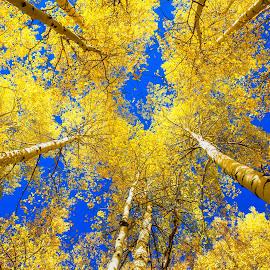 Aspen Up by Richard Duerksen - Nature Up Close Trees & Bushes ( 2017, sneffels, autumn, ouray, colorado, yellow, aspen )