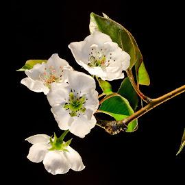 Pear Tree Blossoms by David Hopper - Novices Only Flowers & Plants ( nikon, pear tree, flowers, blossoms )