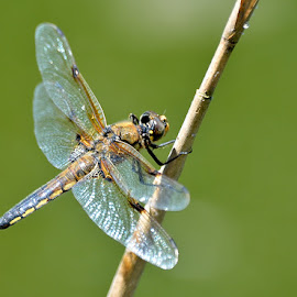 Four Spotted Chaser by Ricardo Costa - Animals Insects & Spiders ( odonata, portugal, dragonflies )