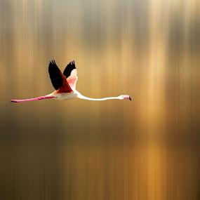 Freedom by Pieter Arnolli - Animals Birds ( europe, freedom, fly, sunset, flamingo, sunrise, birds, italy )