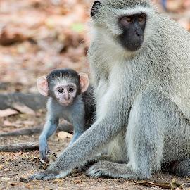 Mom I want to see by Jason Wharam - Animals Other Mammals ( vervet monkey, wildlife, african wildlife, primate, blackfaced vervet monkey, monkey )