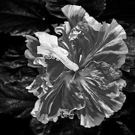 Hibiscus B&W 2 by Joseph Vittek - Black & White Flowers & Plants