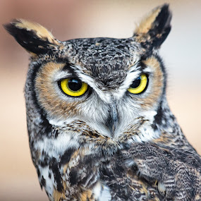 Great Horned Owl by Dave Lipchen - Animals Birds ( great horned owl )