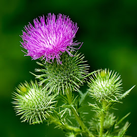 Thistle by Dawn Friend - Flowers Flowers in the Wild ( flowers, lake katherine, wildflowers, thistle,  )