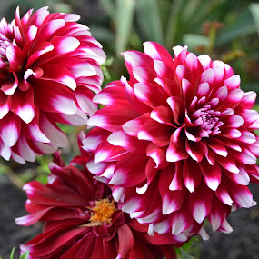 Dahlia by Lorraine D.  Heaney - Flowers Flower Gardens (  )