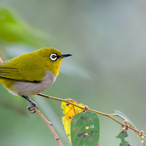 White Eyed Beauty by Srikanth Iyengar - Animals Birds ( srikanth, birds )