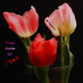 Three Shades Of Pink by Dave Walters - Typography Captioned Photos ( mystical, nature, colors, tulips, typography, flowers, lumix fz2500 )