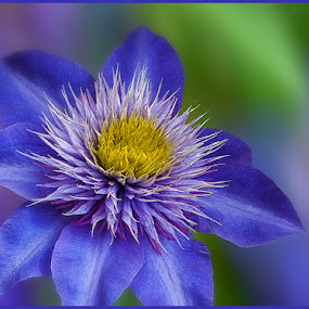 Clematis Blues by Jon Kinney - Flowers Single Flower ( clematis, blue flower )