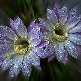 queen of the Night by Dunja Kolar - Flowers Flower Gardens ( queen of the night, croatia, zagreb )