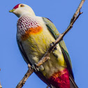 Many-coloured Fruit Dove