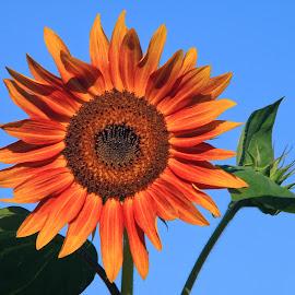 Sunflower by Margie Troyer - Flowers Flower Gardens (  )