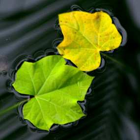 LEAF, WATER, TREE, NATURAL, GREEN, by Elvis Hendri - Nature Up Close Leaves & Grasses ( water, fall leaves on ground, fall leaves, pwcfallleaves, tree, green, leaf, natural )
