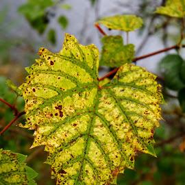 Golden leaf by Lowell Stevens - Nature Up Close Leaves & Grasses