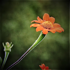 orange flower up close by Mary Gallo - Flowers Flower Gardens ( orange flower, orange, nature, nature up close, garden flower, flower )