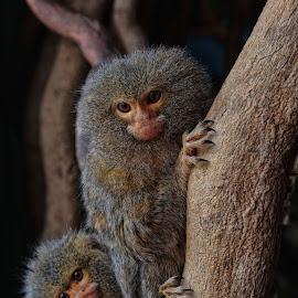 Mother and baby by Jason Garton - Animals Other Mammals ( pygmymarmoset, marmoset monkeys primates, primates, monkey )