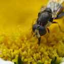 pollinating fly