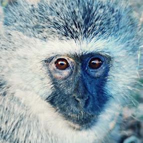 Vervet Monkey by Jackson Visser - Animals Other Mammals ( national park, south africa, wildlife, vervet, kruger, monkey )