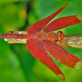 Close up of a red dragonfly by Francois Wolfaardt - Animals Insects & Spiders ( red, nature, wings, green, insect, dragonfly, close up, eyes,  )
