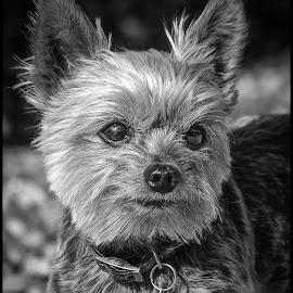 Dolly by Dave Lipchen - Black & White Animals ( dolly, yorkie )