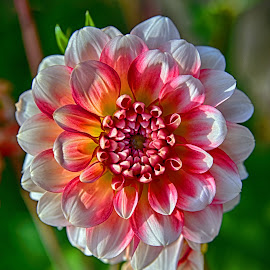 Madame Gale by Marco Bertamé - Flowers Single Flower ( red, petals, white, yellow, dahlia )