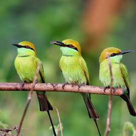 Green Bee Eater by Palash Halder - Animals Birds