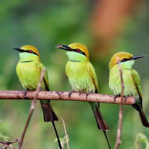 Green Bee Eater-3.jpg