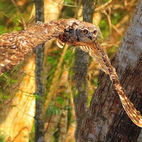 Owl by Johann Fouche - Animals Birds ( bird, dedicated, owl, raptor, raptors )