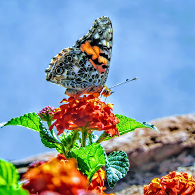The focus of beauty  by Michael Pruitt - Animals Insects & Spiders ( monarchs, butterflies, color, arizona, sedona )