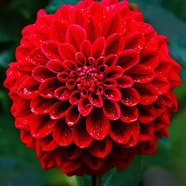 Pompon rouge by Gérard CHATENET - Flowers Single Flower