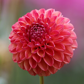 Dahlia 967 by Raphael RaCcoon - Flowers Single Flower
