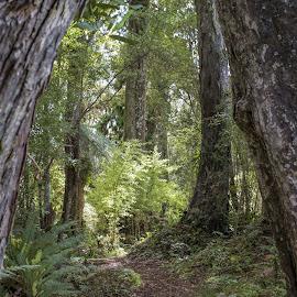 path by Vibeke Friis - Nature Up Close Trees & Bushes ( path through trees )