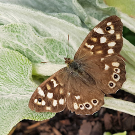 Brown Butterfly by Ingrid Anderson-Riley - Animals Insects & Spiders