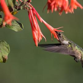 Hummingbird at Honeysuckle Fuchsia 2 by Jen St. Louis - Animals Birds ( in flight, flowers, ruby-throated hummingbird, bird, hummingbird )