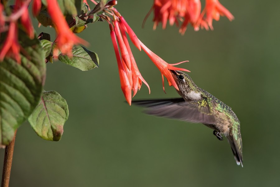 Hummingbird at Honeysuckle Fuchsia 2 by Jen St. Louis - Animals Birds ( in flight, flowers, ruby-throated hummingbird, bird, hummingbird )