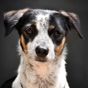 by Pandu Sinatriyo - Animals - Dogs Portraits